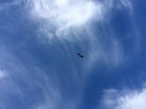 Black Kite or Eagle?